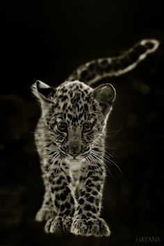 Abandoned by his mother from the baby leopard, he is being raised by the hand of human.
