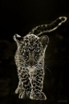 ˚Baby Leopard
