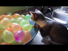 This Munchkin Kitten Is In The Business Of Breaking Balloons And Hearts