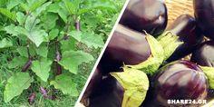 Πως θα Καλλιεργήσετε τις Μελιτζάνες στον Κήπο - Ένας Οδηγός Βήμα προς Βήμα