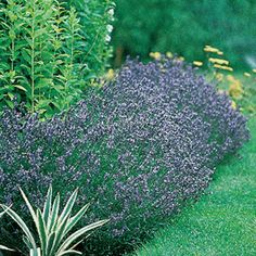 """Hidcote Blue Lavender Seeds - another recommended variety for OK (by the Lavender farm in Apache, OK) - mature plants grow to roughly 18""""x18"""""""