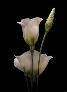 White Lisianthus on Black. by EncroVision - Photo 189838717 / May Flowers, Green Flowers, White Flowers, Beautiful Flowers, Pictures To Draw, Nature Pictures, Lisianthus Flowers, Macro Photography, Flower Photography