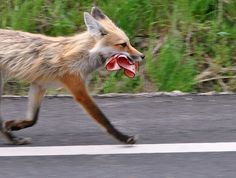 """My bologna has a first name..."" Fox on the run."