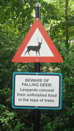 Beware of falling deer:  Leopards conceal their uneaten food in the tops of trees...YIKES batman!