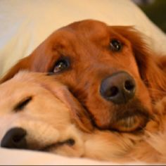 White English Cream Golden Retriever and Golden Retriever are Best of friends. by Pikssik I Love Dogs, Cute Dogs, Puppy Love, Dog Pictures, Animal Pictures, Animals And Pets, Cute Animals, Dog Rules, Pets