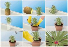 Regrow your own pineapple. Yum!