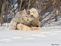 A Canada Lynx. Look at the size of those paws. The Canada lynx has snowshoe-like feet and the fur covering the paws is long and dense. This gives the paws an increased surface area and enhances the cat's ability to maneuver on soft snow. I Love Cats, Big Cats, Crazy Cats, Cats And Kittens, Cute Cats, Funny Cats, Funny Animals, Cute Animals, Nocturnal Animals