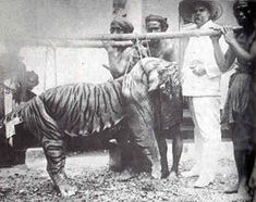 The Javan tiger is an extinct tiger subspecies that inhabited the Indonesian island of Java until the mid-1970s.Human population increase, together with agricultural development and deforestation, has led to the disappearance and fragmentation of the already small tiger habitat. The final blow was made by extensively hunting by Europeans.