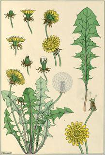 Dandelion Botanical Print ~ Every garden has them.