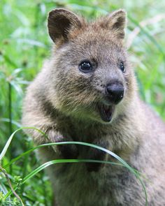 Did someone say long weekend? It's not hard to see why some call Quokkas the happiest creatures on earth.