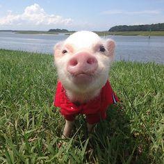Priscilla & Poppleton: The Mini-Pigs Taking Instagram by Storm! (2/21)