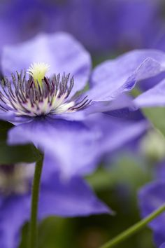 #Clematis can be tricky to grow as they tend to be rather prone to disease, and pests can be an issue too, but the extra care and attention they need is worth it for the stunning display of flowers you'll get from them.