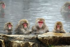 Watch now monkeys bathe in an onsen at Jigokudani Yaen-koen #nagano
