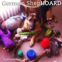 This is exactly what Braylee does with her toys.... must be a GSD thing!