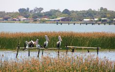 Pelicans admiring the view over Lake Albert, Meningie, a town in South Australia near The Coorong National Park