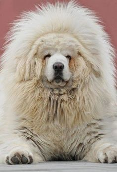 The 5 massive dog breeds | The Planet of Pets