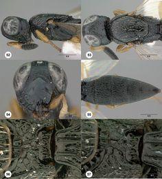 Oxyscelio nemesis holotype