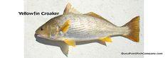 Yellowfin Croaker - Umbrina Roncador.