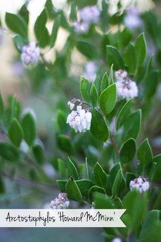 Arctostaphylos 'Howard McMinn'  #gardening #flowers #plants