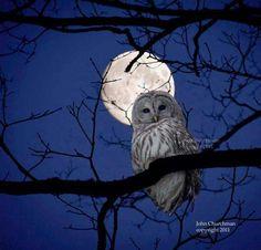 Snow owl....
