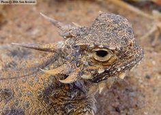 lizards | Flat-tailed Horned Lizard (Phrynosoma mcallii) Arizona