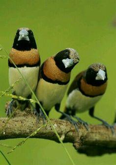 Capuchino de pecho castaño (Lonchura castaneothorax). Es un ave paseriforme de la familia Estrildidae nativa de Australasia.