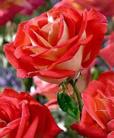 hoy día de la rosa y el libro la fiesta de san Jordi