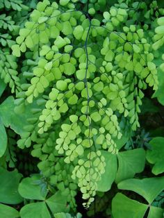 Maidenhair fern~ one of my faves.