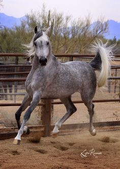 arabian, I'm so pretty I don't even have to touch the ground