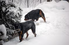 Rottweilers in snow