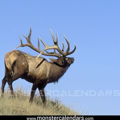 Josh Pollock took this monster bull in 2007 in Utah. It scores over 417 with 15 total points. Featured in our 2011 Elk Calendar. Hunting Humor, Hunting Art, Hunting Quotes, Hunting Tips, Elk Hunting Colorado, Elk Pictures, Whitetail Deer Pictures, Deer Species, Alaska