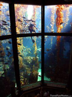 Huge Kelp Forest Tank, Monterey Bay, California - USA --- Find the Diver :)