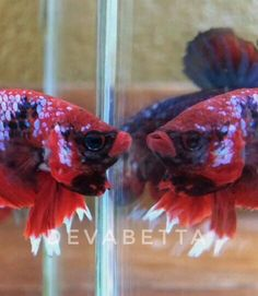 We are a home of BETTA fish where is located in thailand. Welcome all people who loves the smart and nice fish as such BETTA (PLAKAT)