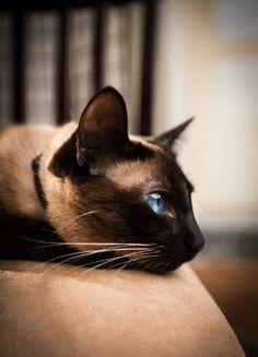 Siamese. Ice blue.