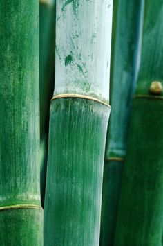 bamboo forest.Green