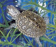 Diamondback Terrapin Day: May 13, 2010 is officially Diamondback Terrapin Day.