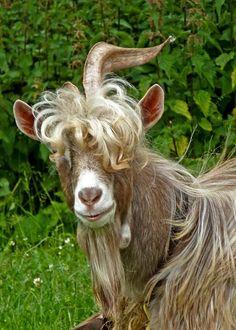 Stylish goat.   by:  Tim Green