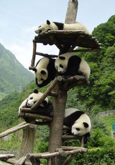 I LOVE Pandas! My first teddy bear was a panda - and it is my favorite animal. They are so zen. <3 it!
