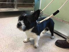 TO BE DESTROYED 09/13/17- LUCKY. A1124754. I am a male black and white shih tzu mix.  I am about 2 YEARS   OWNER SUR on 09/08/2017r reason OWNER HOSP.