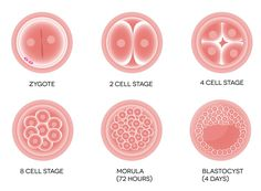 Embryo Grading for IVF - Assisted Fertility Program Ivf Egg Retrieval, Frozen Embryo Transfer, Cord Blood Banking, Stem Cell Therapy, Pregnancy Stages, Stem Cells, Day, Women's Health, Health