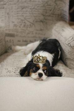 .King Charles spaniel