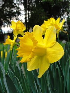 My favorite flower is the Daffodil. It always lets me know when spring in here.