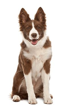 Border Collie Puppy 5 Months Old Sitting Puppy Pictures, Cute Pictures, Border Collie Puppies, Border Collies, Border Collie Pictures, 5 Month Olds, Puppy Breeds, Animals And Pets, Dogs And Puppies