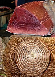 Um atum e um tronco de árvore tem os mesmos padrões.