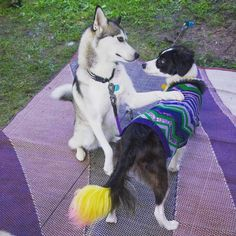 #dogfriends if Nora and Banana would have a hashtag what would it be?  Check out Nora at @pawrecord  #pawrecord #pressrecord #husky #huskygram #huskiesofinstagram #siberianhusky #huskypics #bordercollie #bordercolliesofinstagram #bordercolliemix #dogsofig #friends #lovedogs #friendshipismagic #creativepetkeeping #cutedogs