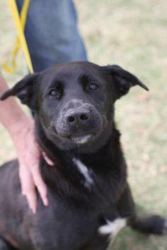 05/16/14 Ora Lee Labrador Retriever Mix • Adult • Female • Large Galveston County Animal Resource Center Texas City, TX