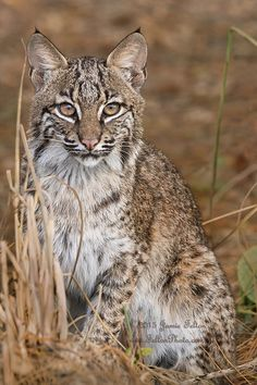 ~~Spot the (wild) Bobcat by Jamie Felton Photo~~