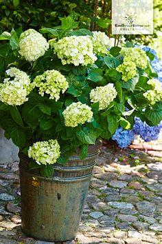 Die Endless Summer® 'The Bride' eignet sich mit ihren wunderschönen weißen Blüten und ihrem nostalgischen Charme ganz besonders für den romantischen Shabby Chic Garten.