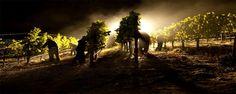 Vino nocte: la vendemmia sotto il chiaro di luna a Cori