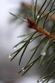 Mänty. Pine. * metsä, puut, juuret